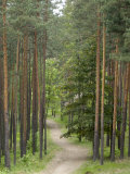 Path Through Pine Forest  Near Riga  Latvia  Baltic States  Europe