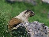 Hoary Marmot (Marmotta Caligata)  Banff National Park  Alberta  Canada  North America