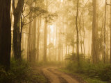 Country Road in Fog  Dandenong Ranges  Victoria  Australia  Pacific