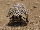 Leopard Tortoise (Geochelone Pardalis)  Kruger National Park  South Africa  Africa