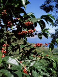 Close-up of Coffee Plant and Beans  Lago Atitlan (Lake Atitlan) Beyond  Guatemala  Central America