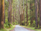 Road and Mountain Ash Trees  Yarra Ranges National Park  Victoria  Australia  Pacific