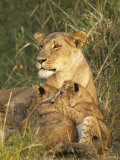 Lioness with Two Cubs (Panthera Leo)  Masai Mara Game Reserve  Kenya  East Africa  Africa