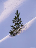 Pine Tree in Snow  Bryce Canyon National Park  Utah  United States of America  North America