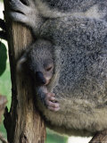 Baby Koala Bear (Phascolarctos Cinereus) in Pouch  Brisbane  Queensland  Australia  Pacific