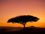 Acacia Tree Silhouetted at Dawn  Masai Mara Game Reserve  Kenya  East Africa  Africa