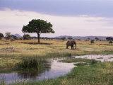 African Elephant (Loxodonta Africana)  Tarangire National Park  Tanzania  East Africa  Africa