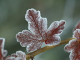 Frosty Leaf  Near Ouray  Colorado  United States of America  North America