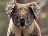 Koala Bear (Phascolarctos Cinereus)  Phillip Island  Victoria  Australia  Pacific
