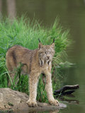 Lynx (Lynx Canadensis)  in Captivity  Sandstone  Minnesota  United States of America  North America