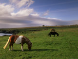 Shetland Ponies  Unst  Shetland Islands  Scotland  United Kingdom  Europe