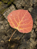 Red Aspen Leaf with Water Drops  Near Telluride  Colorado  United States of America  North America