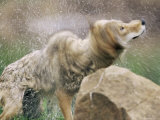 Coyote (Canis Latrans)  in Captivity  Sandstone  Minnesota  United States of America  North America