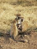 Vervet Monkey with Infant (Ceropithecus Aethiops)  Ngorongoro Crater  Tanzania  East Africa  Africa
