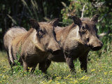 Warthogs (Phacochoerus Aethiopicus), Addo Elephant National Park, South Africa, Africa Papier Photo par James Hager