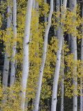 Aspen Trunks and Fall Foliage  Near Telluride  Colorado  United States of America  North America