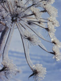 Close-up of 'Jewels' of Ice on a Plant  Norway  Scandinavia  Europe