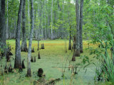 Atchafalaya Swamp Near Gibson in the Heart of 'Cajun Country'  Louisiana  USA