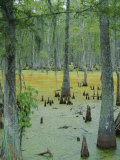 Cajun Country  Atchatalaya Swamp  Near Gibson  Louisiana  USA