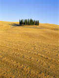 Copse of Cypress Trees in a Harvested Field in Summer  Near Siena  Tuscany  Italy