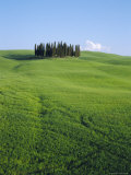Copse of Cypress Trees in a Field in Spring  Near Siena  Tuscany  Italy