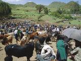 Livestock Market  Sentebe  Abyssinian Region of Choa  Ethiopia  Africa