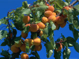 Apricots Ripening on Tree  Vaucluse  Provence  France  Europe