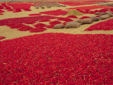 Picked Red Chilli Peppers Laid out to Dry  Rajasthan  India