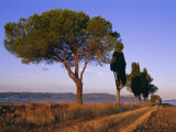 Landscape with Cypress Trees and Parasol Pines  Province of Siena  Tuscany  Italy  Europe