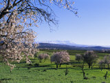 Almond Trees in Bloom  Haut Atlas (High Atlas)  Morocco  North Africa  Africa