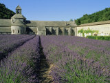 Rows of Lavender at the Abbaye De Senanque  Vaucluse  Provence  France  Europe