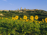 San Gimignano and Field of Sunflowers  Tuscany  Italy