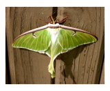 Luna Moth Ready for Flight