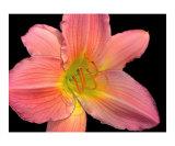 Pink Lily Digital Art