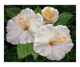 White Hibiscus - Dreamy Blooms