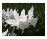 Daffodil Flower Fairies