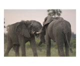 Elephant Bulls Fighting