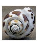 Seashells Spectacular No 2