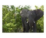 Angry Elephant Bull