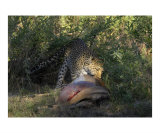 Leopard Dragging Carcass