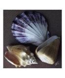 Seashells Spectacular No 30