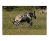 Zebra fighting