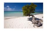 Eagle Beach with a Fofoti Divi Tree Aruba