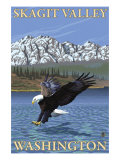 Bald Eagle Diving  Skagit Valley  Washington