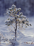 Young Scots Pine Covered in Snow in Winter  Abernethy  Strathspey  Scotland  UK  Europe