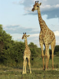 Adult and Young Giraffe Etosha National Park  Namibia  Africa