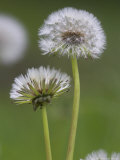 Dandelion Seedheads (Taraxacum Officinale)  Cumbria  England  United Kingdom  Europe
