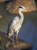 Grey Heron (Ardea Cinere)  Kruger National Park  Mpumalanga  South Africa  Africa