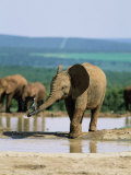 Young African Elephant  Loxodonta Africana  at Waterhole  Addo National Park  South Africa  Africa