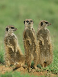 Three Meerkats (Suricates)  Suricata Suricatta  Addo National Park  South Africa  Africa